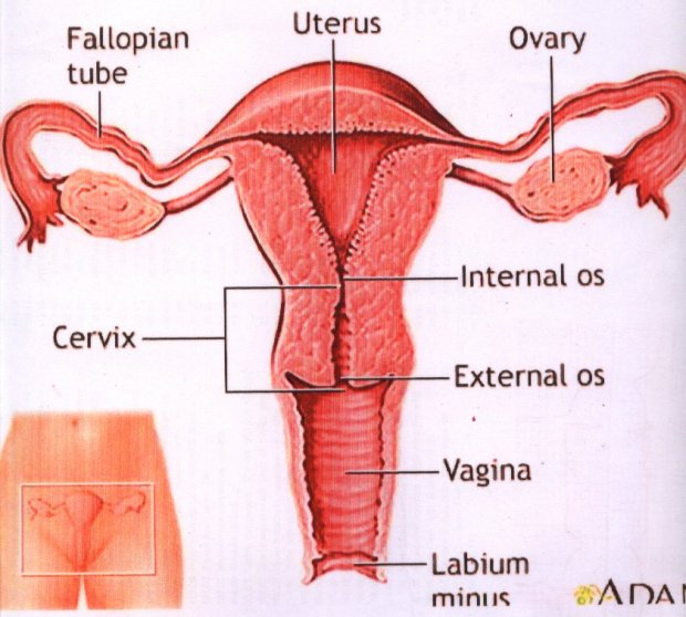 Normal Female Reproductive Organs
